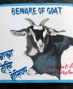 1355948472_Goat.Amar.sq